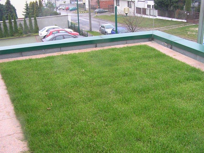 Darń trawnikowa